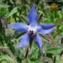 Vaistinė agurklė (Borago officinalis)