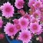 Kaip prižiūrėti stambiažiedes chrizantemas