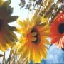 Gėlių sėklų daigumas