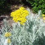 helichrysum-italicum-italinis-slamutis