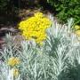 Italinis šlamutis (Helichrysum italicum)