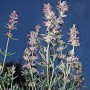 Vaistinis isopas (Hyssopus officinalis)