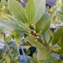 Kilnusis lauramedis (Laurus nobilis)