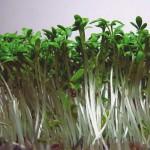 lepidium-sativum-sejamoji-pipirne