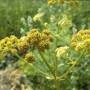 Vaistinė gelsvė (Levisticum officinale)
