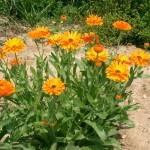 medetka-calendula-officinalis