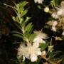 Tikroji mirta (Myrtus communis)
