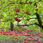 Obelų miltligė