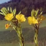 oenothera-biennis-dvimete-nakvisa