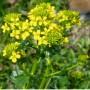 Paprastoji barborytė (Barbarea vulgaris)