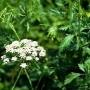 Anyžinė ožiažolė (Pimpinella anisum)