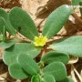 Paprastoji portulaka (Portulaca oleracea)