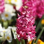 rausvi hiacintai