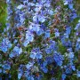 Kvapusis rozmarinas (Rosmarinus officinalis)