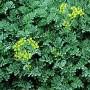 Žalioji rūta (Ruta graveolens)