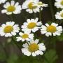 Vaistinis skaistenis (Tanacetum parthenium)