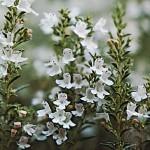 thymus-vulgaris-vaistinis-ciobrelis