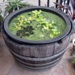vandens-augalai