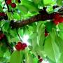 Kodėl prastai žydi ir skurdžiai dera vyšnios?