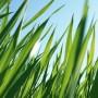 Priežastys, sukeliančios vejos ligas