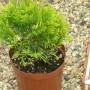 Spygliuočių sodinimas, auginimas ir priežiūra