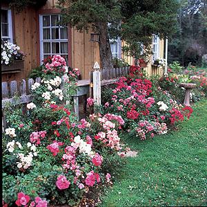 Rožės kieme