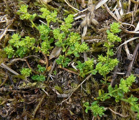 Plikasis skleistenis - Herniaria glabra L.