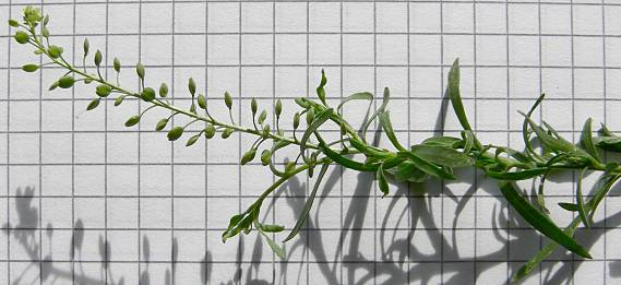 Paprastoji pipirnė - Lepidium ruderale