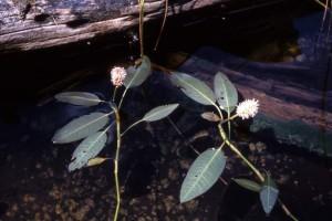 Polygonum amphibium var. stipulaceum