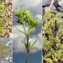 Vienametė klėstenė (Scleranthus annuus L)