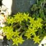 Aitrusis šilokas (Sedum acre L.)