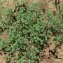 Daugiametė klėstenė (Scleranthus perennis L.)