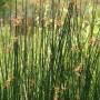 Ežerinis meldas (Scirpus lacustris L.)