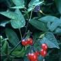 Karklavijas (Solanum dulcamara L.)