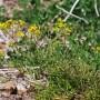 Miškinis čėriukas (Roripa sylvestris Bess.)