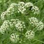 Nuodingoji nuokana (Cicuta virosa L.)