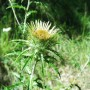 Paprastoji karlina (Carlina vulgaris L.)