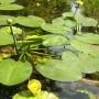 Paprastoji lūgnė (Nuphar lutea L.)