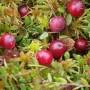 Paprastoji spanguolė (Oxycoccus palustris Pers.)