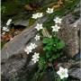 Pelkinė mandrauninkė (Parnassia palustris L.)