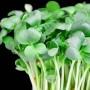 Pipirnės – sodininimas, auginimas ir priežiūra