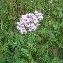 Vaistinis valerijonas (Valeriana officinalis L.)