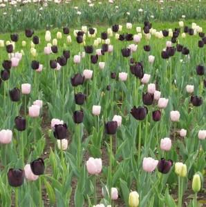 tulpes-2