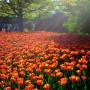 Tulpių auginimas ir priežiūra