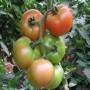 Valgomasis pomidoras