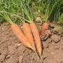 Valgomoji morka
