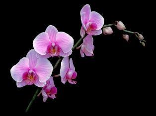 "Orchidėja "" Phalaenopsis"""