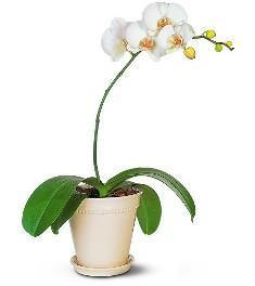 phalaenopsis-orchideja
