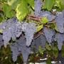 Vynuogių sodinimas ir priežiūra