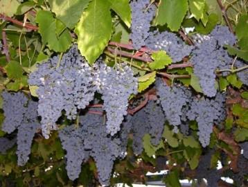 vynmedis
